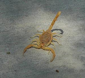 Cual es el significado de soñar con un escorpión amarillo