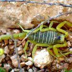 Soñar con escorpiones verdes